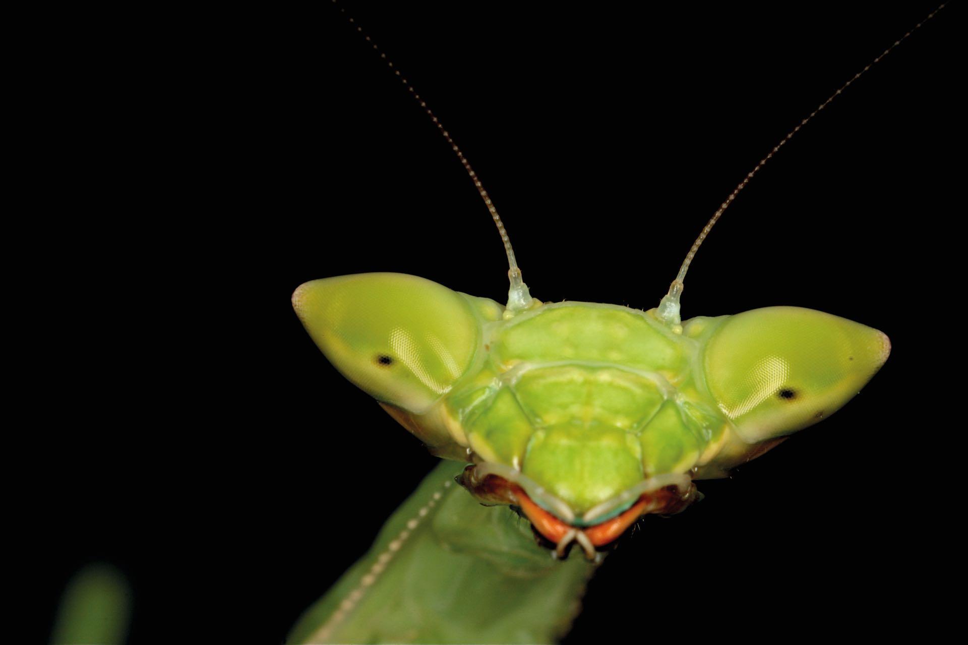 Retrato de una mantis en Salta.
