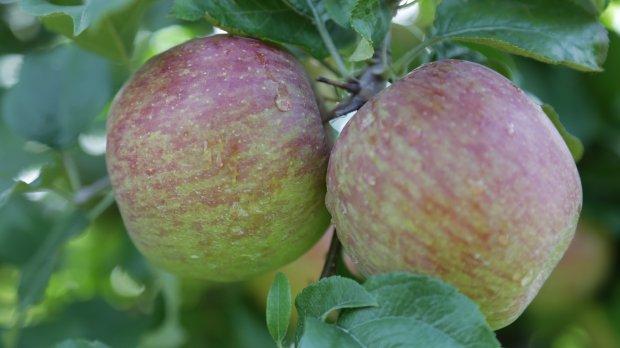 Produtores de maçã comemoram a chegada do frio