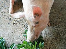 Curso Profissionalizante Online de Processador de Carne Suína