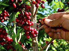 Curso Profissionalizante Online de Produtor de Café