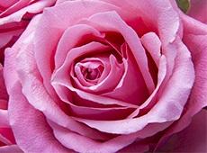 Curso Online Como Produzir Rosas