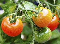 Curso Online Hidroponia - Cultivo de Tomate