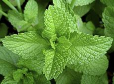 Curso Online Plantas Medicinais e Aromáticas - Colheita e Beneficiamento