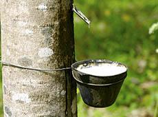 Curso Online Cultivo de Seringueira para Produção de Borracha Natural