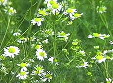 Curso Online Farmácia Viva - Utilização de Plantas Medicinais