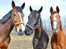 Curso Online Como Avaliar Idade e Pelagem de Cavalos