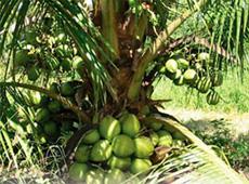Curso Online Irrigação do Coqueiro Anão