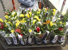 Curso Online Produção Comercial de Antúrio, Helicônia e Spathiphyllum