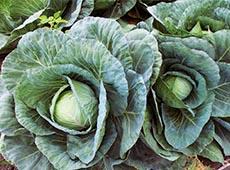 Curso Online Cultivo Orgânico de Brócolis, Couve-flor e Repolho