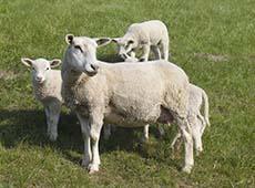 Curso Online Formação e Manejo de Pastagens para Ovinos