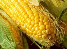 Curso Online Cultivo de Milho Hidropônico - Para Alimentação Animal