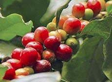 Curso Online Colheita Mecanizada de Café