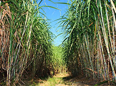 Curso Online Cultivo de Cana-de-açúcar para Produção de Cachaça