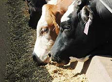 Curso Online Cana-Ureia - Alimento de Baixo Custo para Bovinos