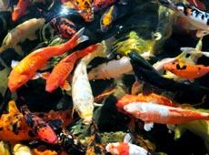 Curso Online Produção de Peixes Ornamentais