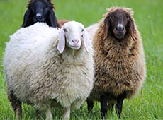 Curso Online Criação de Ovinos para Produção de Lã
