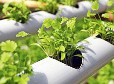 Curso Online Hidroponia de Plantas Medicinais e Condimentares