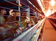 Curso Online Galinhas Poedeiras - Produção e Comercialização de Ovos