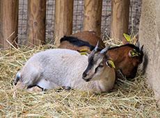 Curso Online Criação de Cabras Leiteiras - Instalações, Raças e Reprodução