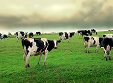 Curso Online Avaliação, Julgamento e Preparo de Vacas Leiteiras para Eventos