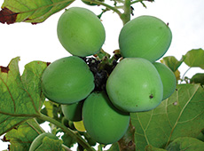 Curso Online Cultivo de Pinhão-Manso para Produção de Biodiesel