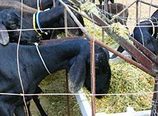 Curso Online Formulação e Fabricação de Ração para Ovinos na Fazenda