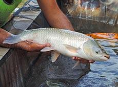 Curso Online Criação de Peixes - Como Implantar uma Piscicultura