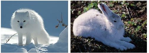 Exemplos de animais e plantas da tundra.