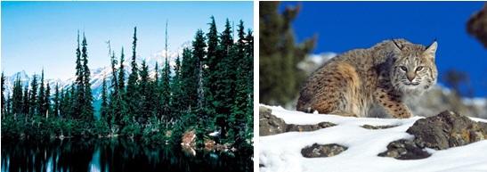 Exemplos de animais e plantas da taiga (coníferas à esquerda e lince à direita)