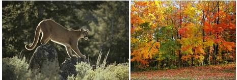 Exemplos de animais e plantas da floresta temperada (leão-da-montanha e floresta decídua).