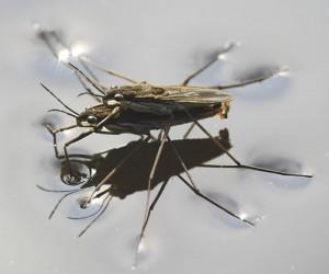 A película de tensão superficial sustenta o peso de insetos e permite que as gotas de orvalho se mantenham sobre diferentes superfícies, como na figura abaixo.