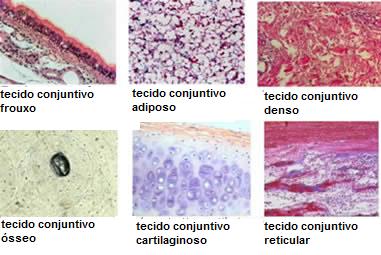 c208f939f6736 O que são os tecidos epiteliais e conjuntivos  - Desconversa