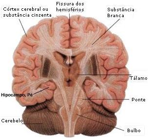 Encéfalo visto em corte (Observe a localização das massas cinzenta e branca)