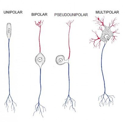 Diferentes tipos de neurônios. A cor vermelha representa o dendrito e a azul, o axônio.