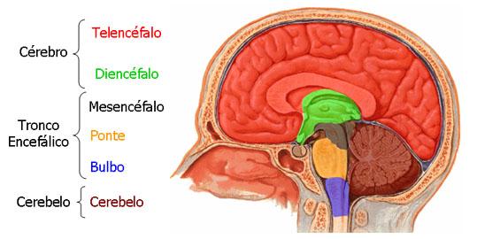 Divisões do encéfalo