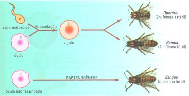 Esquema da partenogênese em abelhas