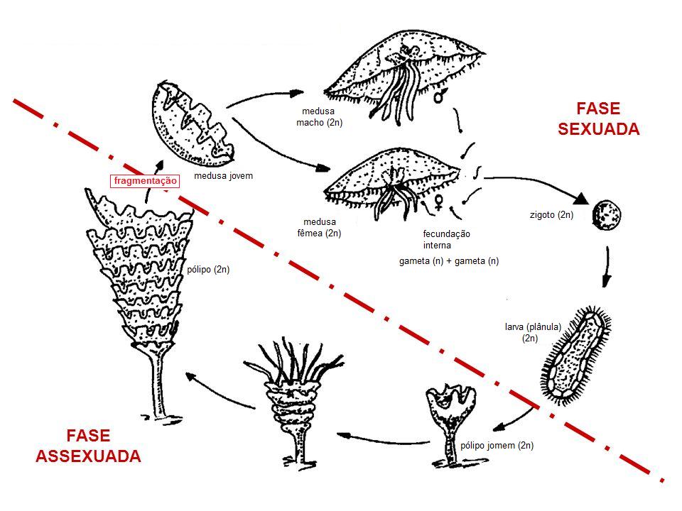 Metagênese em Cnidários