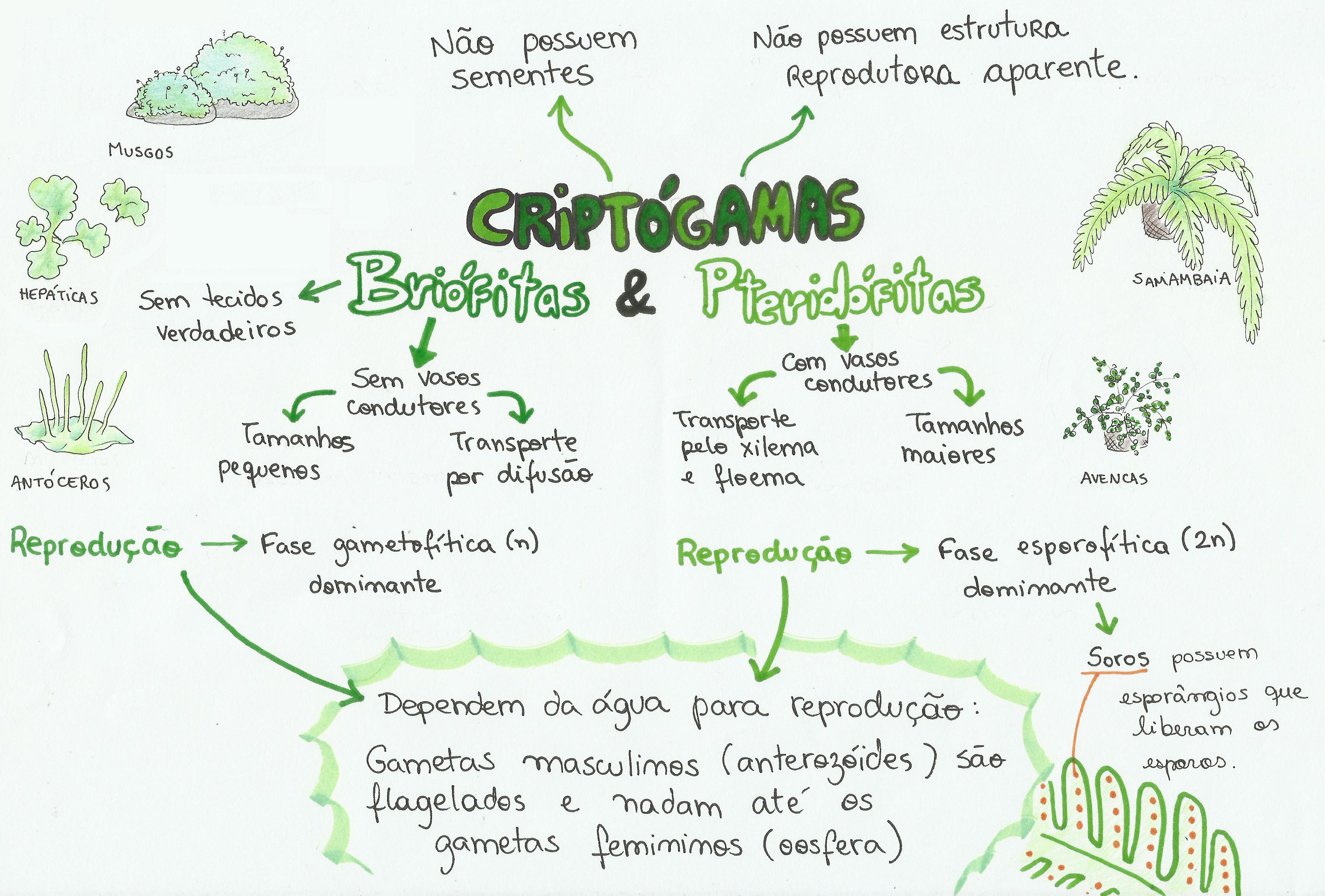 Mapa Mental: Criptógamas, Briófitas e Pteridófitas