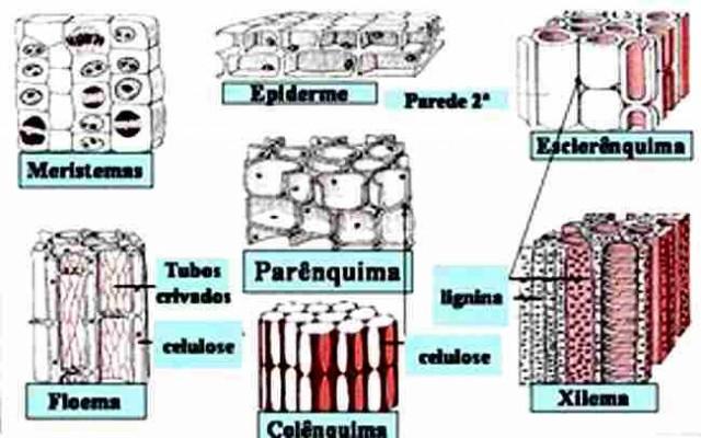 Esquema do tecido meristemático, com células indiferenciadas, e de diferentes tipos de tecidos adultos dos vegetais.
