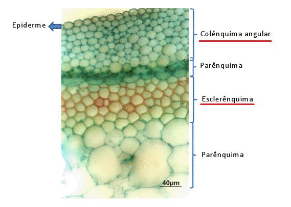 Corte histológico de uma planta, indicando os tecidos.