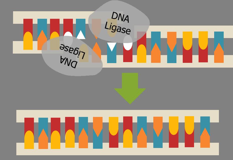 Esquema de como a enzima DNA ligase atua conectando segmentos de DNA.