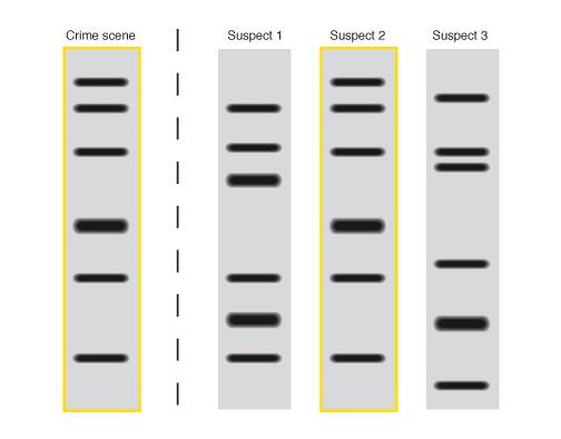 Exemplo de uma eletroforese mostrando a comparação dos trechos de DNA. Nota-se que, quando há faixas iguais, pode-se reconhecer a origem do DNA.