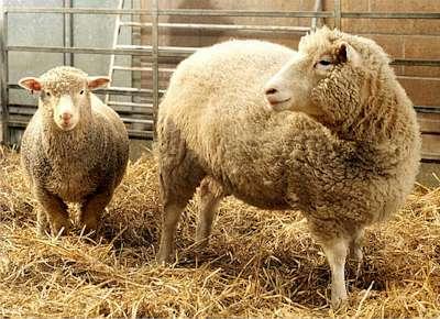 A ovelha Dolly, um clone feito a partir de células somáticas adultas