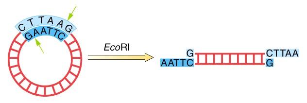 Esquema de como a enzima de restrição EcoR1 atua, cortando o DNA circular entre as bases nitrogenadas A e G.