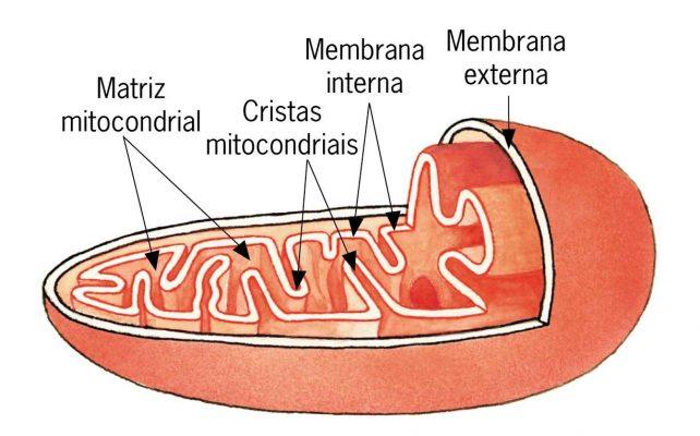 Esquema da mitocôndria, indicando suas partes