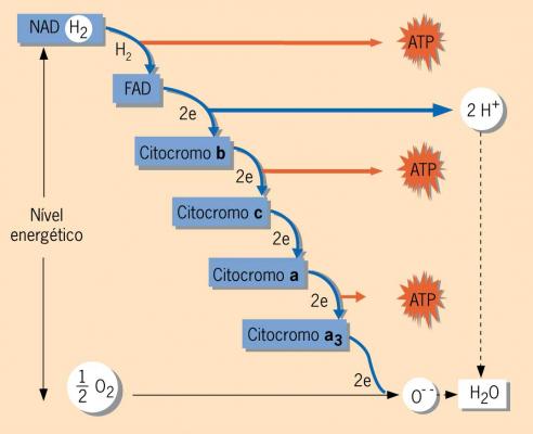 resumo-de-respiracao-celular6