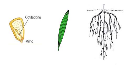 Esquema do cotilédone de uma monocotiledônea, folha com nervuras paralelinérveas e raiz fasciculada.
