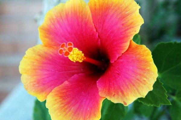 Flor de uma dicotiledônea, com cinco pétalas.