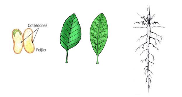 Esquema dos cotilédones de uma dicotiledônea , folha com nervuras peninérveas ou reticuladas e raiz pivotante.