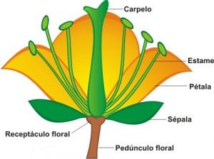Esquema de uma flor hermafrodita, indicando suas estruturas.